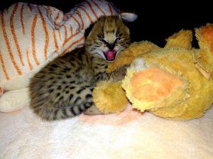 Erfahrungsbericht Südafrika Big Cat