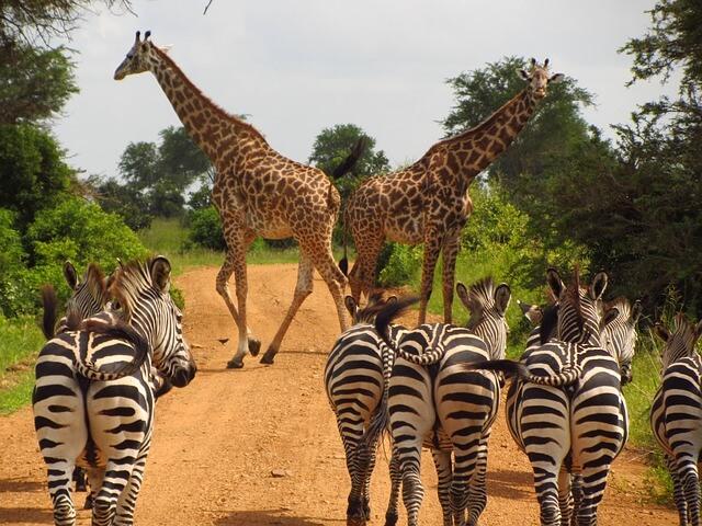 tansania freiwilligenarbeit zebra