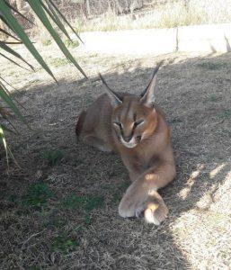 Großkatze Südafrika Big Cat Freiwilligenarbeit