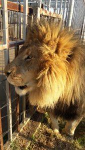 Löwe Südafrika Freiwilligenarbeit