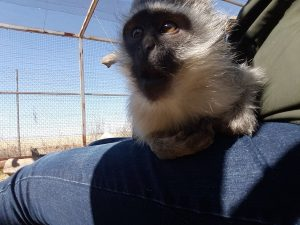 Affe Südafrika Freiwilligenarbeit