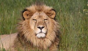 Freiwilligenarbeit Südafrika Löwe