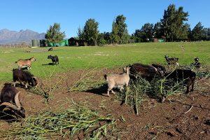 Freiwilligenarbeit Südafrika Ziegen