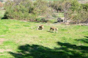 Freiwilligenarbeit Südafrika Löwefarm