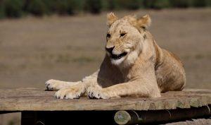 Freiwilligenarbeit Südafrika Löwin Wildlife