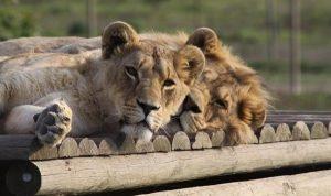Volunteering Südafrika Löwen schlafen
