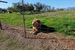 Volunteering Südafrika Löwenprojekt