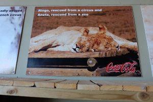 Freiwilligenarbeit Südafrika gerettete Löwen