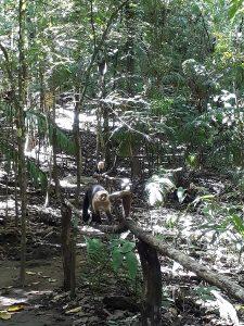 Costa Rica Kapuzineraffen Auslandsaufenthalt