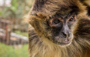 Auslandspraktikum Tierhelfer Affe