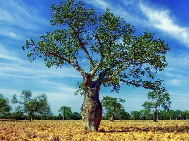 Paraguay tree