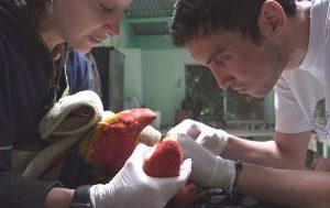 Praktikum Costa Rica Papagei
