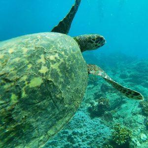 Meeresschildkröte Costa Rica
