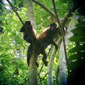 Affen hängen Baum Costa Rica