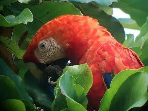 Ara, Papagei Mittelamerika