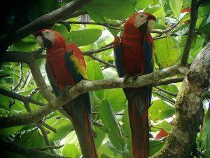 Ara Papagei Südamerika