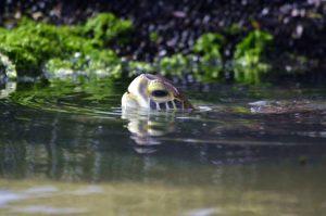 Uruguay Meeresschildkröte