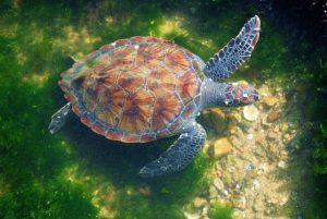 Freiwilligenarbeit Südamerika Schildkröte