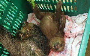 Wildlife Costa Rica, Freiwilligenabreit Faultiere