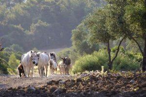 Pferdeherde Griechenland
