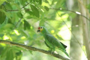 Papagei Guatemala