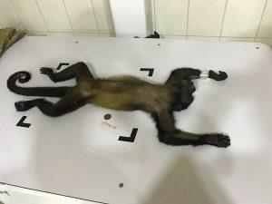Tierarzt Praktikum, Lateinamerika Affe